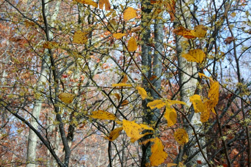 Yellow Hazel Leaves and Blooms in Mtns tb1210wsx.jpg