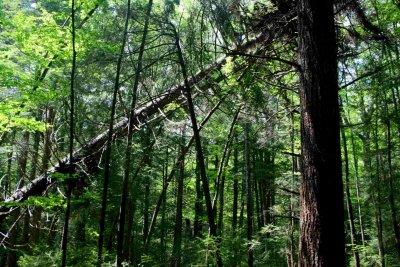 Leaning Hemlock in Kennison Woods tb0609dr.jpg