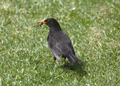Scruffy the Blackbird dining  0476.jpg