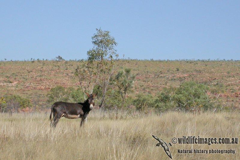Feral Donkey a0067.jpg