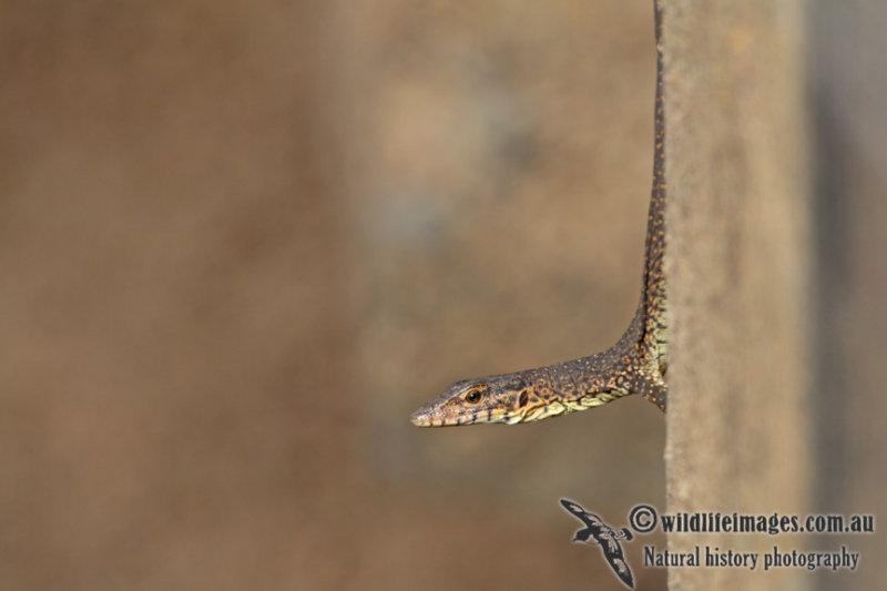 Mitchells Water Monitor - Varanus mitchelli a6885.jpg