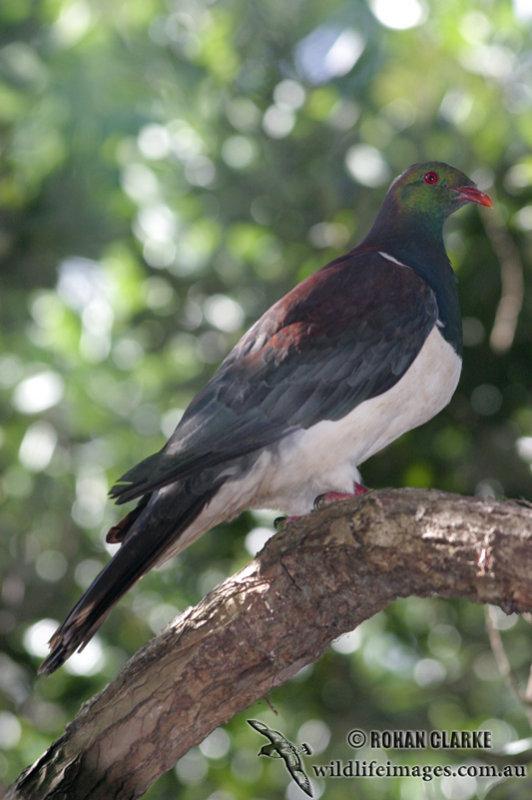 New Zealand Pigeon 2367.jpg