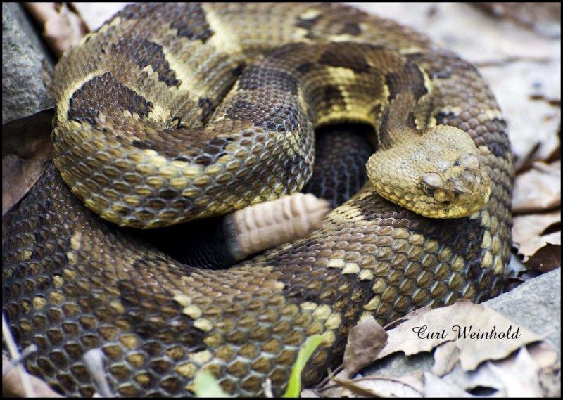 RattleSnake- yellow phase
