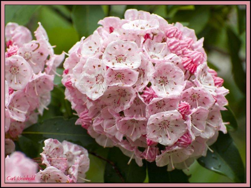 Pennsylvania State Flower   Mountain Laurel