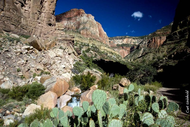 Pricklypear cactus