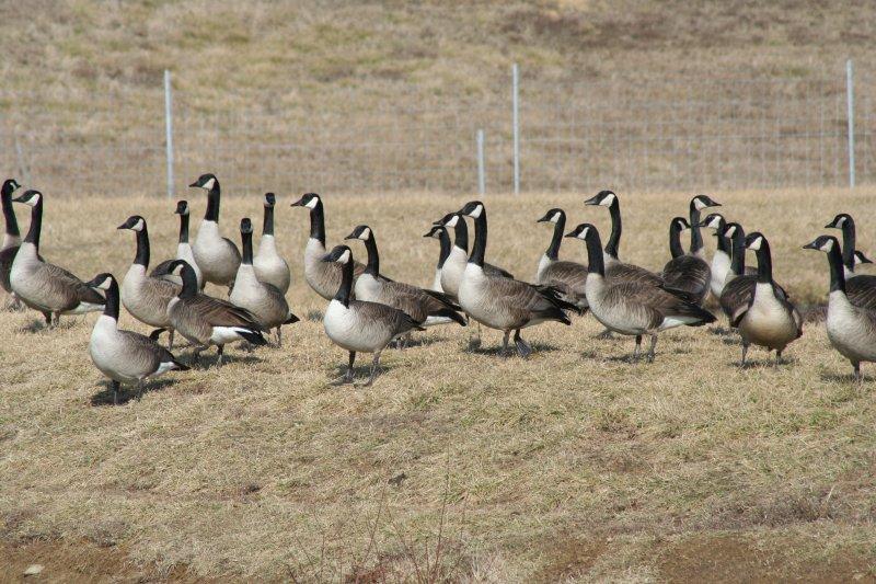 A Few Good Geese!