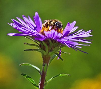 Bee On A Wildflower 54274