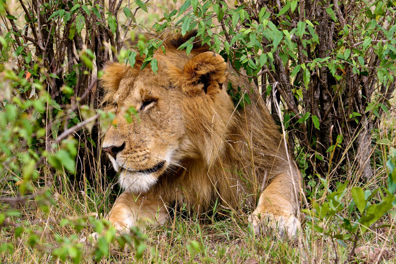 lion_7644.jpg