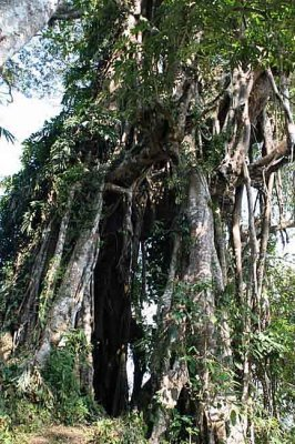 Tree in which men from one morung of Shangnyu still keep their skulls from headhunting times.