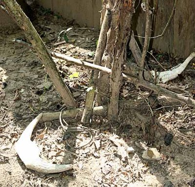 Sacrifical place with calf`s horns and lower jaw-bone in front of the grave. Kachork graveyard, Cambodia.