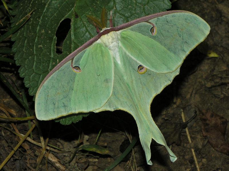 luna moth.jpg