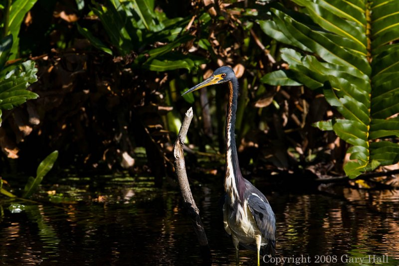 Tri colored Heron -  Before removing stick
