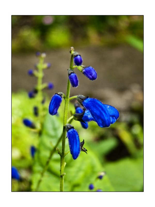 flower in the garden of the McLeod castle in the Isle of Skye.jpg