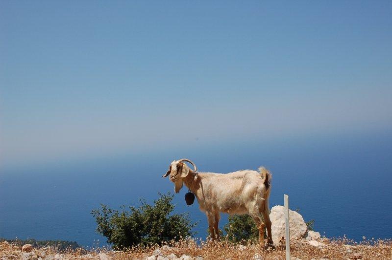 Goat - Oludeniz