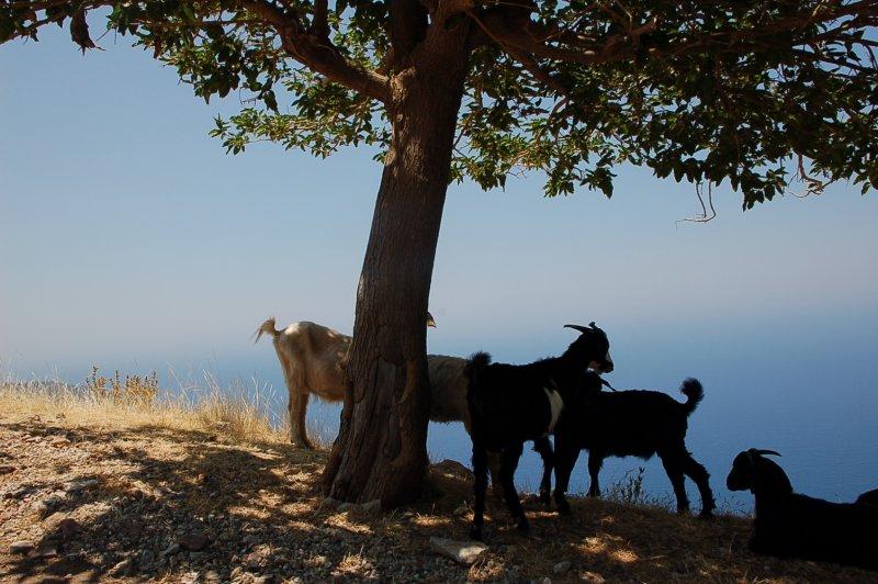 Goat in Oludeniz Hill