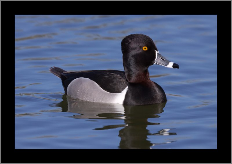 Ring-necked Duck #2