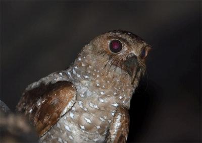 Oilbird2.jpg