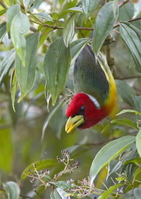 Red-headed-Barbet2.jpg