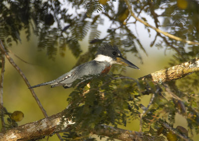 Ringed-Kingfisher.jpg