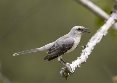 Tropical-Mockingbird.jpg