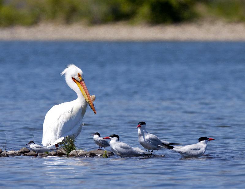 American White Pelican and Caspian Terns