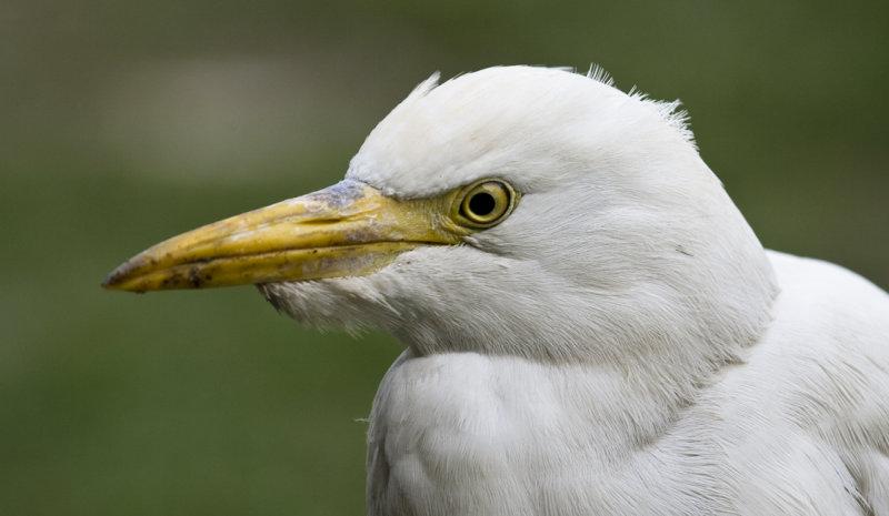 Kohäger-Cattle egret (Bubulcus ibis)