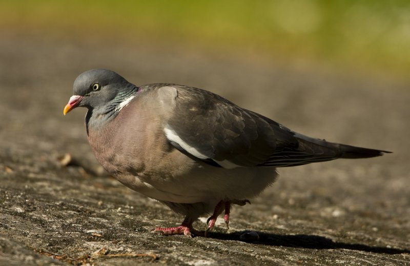 Ringduva - Wood pigeon (Columba palumbus)