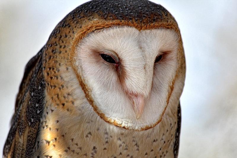 Barn Owl  - Tucson Mountain Museum - Tucson, Arizona