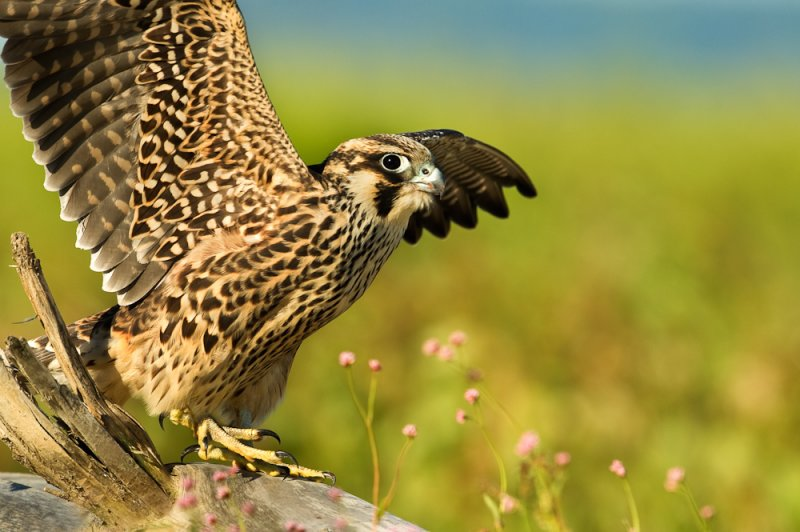 Faucon pellerin, juvénile -- Peregrine falcon, juvenile