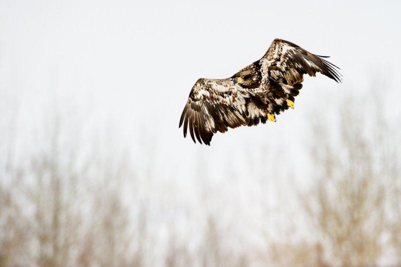 Pygargue à tête blanche, juvénile --Bald Eagle, juvenile