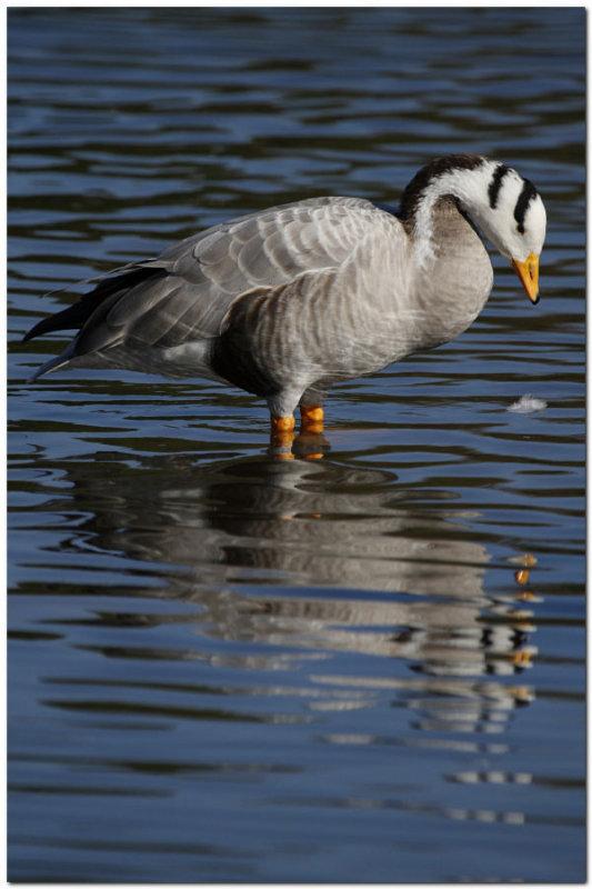 Bar Headed Goose 2379