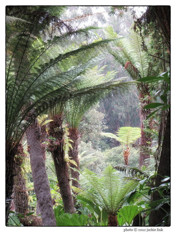 Fern trees in GGPark.jpg