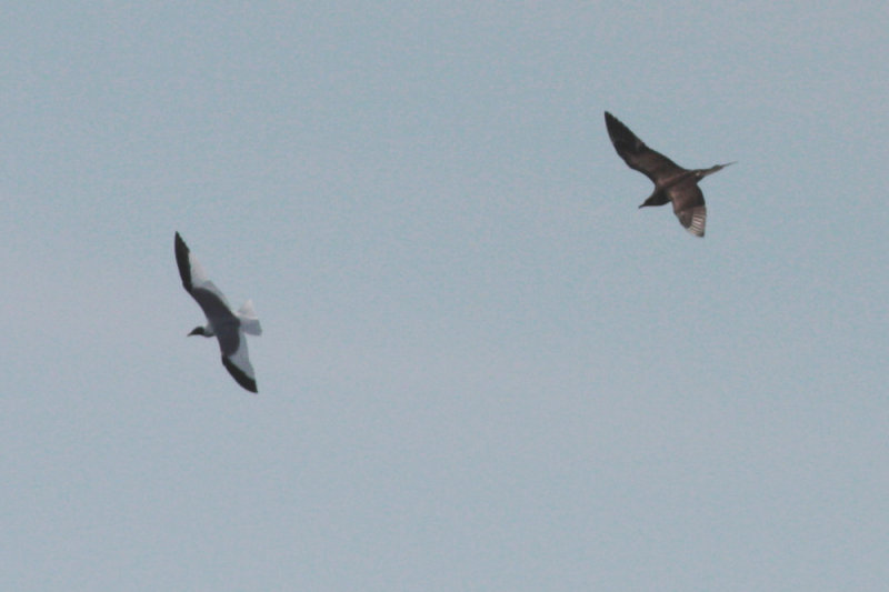 Long-tailed Jaeger and Sabines Gull
