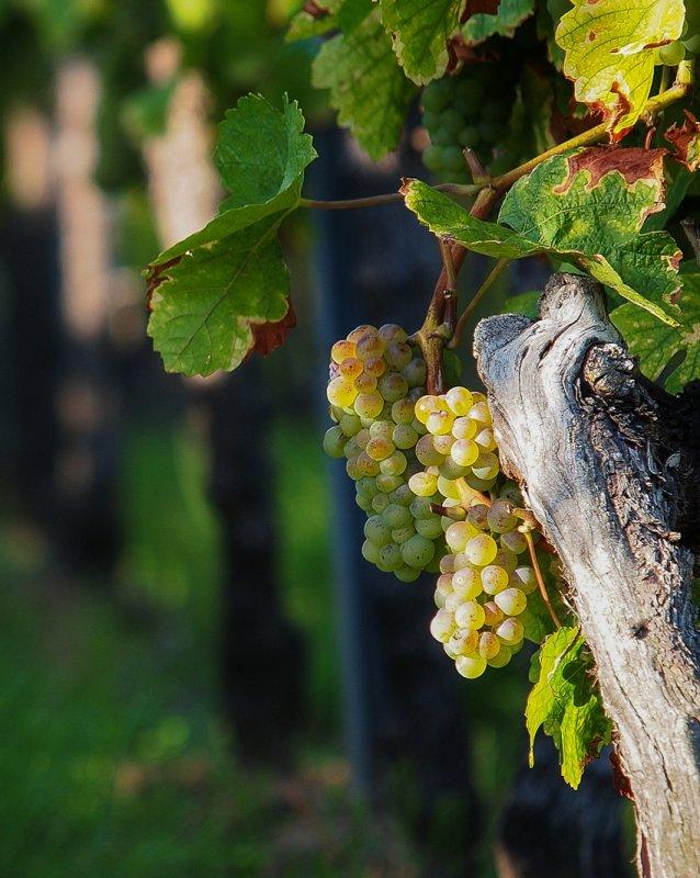 White Riesling Grape