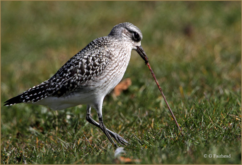 The Early Bird / Black Bellied Plover