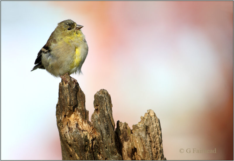 American Goldfinch Fall Colors