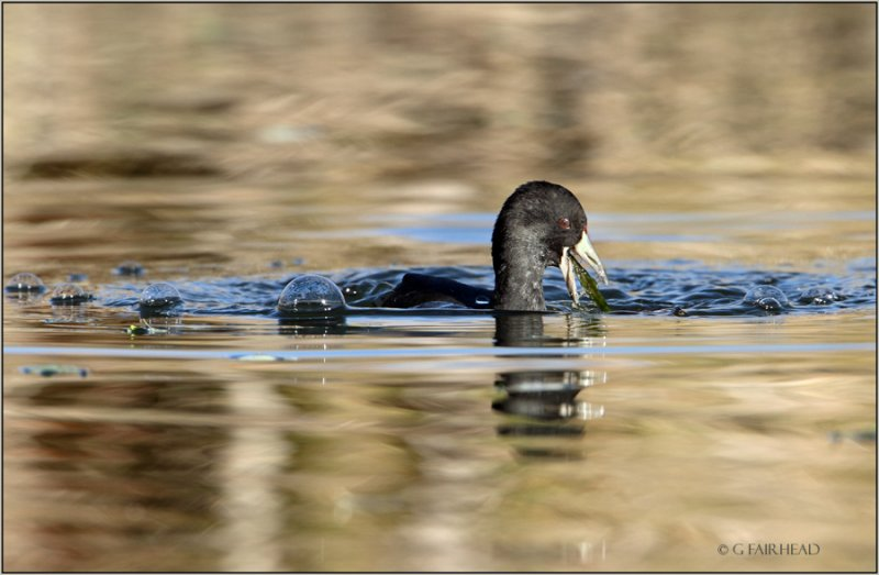 Coot Bubble Gag