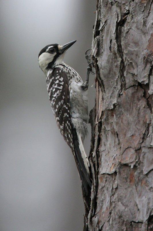Red-cockaded Woodpecker