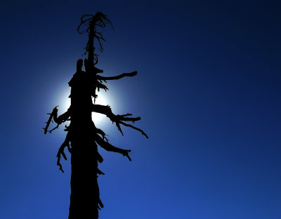 Scorched tree, Lassen Volcanic National Park, California, 2008