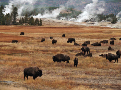 The herd at Old Faithful, Yellowstone National Park, Wyoming, 2008