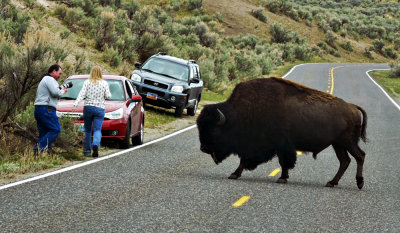 In harm's way, Yellowstone National Park, Wyoming, 2010