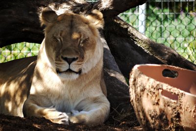 Dozing lioness, San Diego Zoo, California, 2010