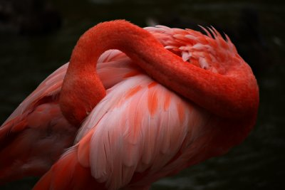 Flamingo, San Diego Zoo, San Diego, California, 2010