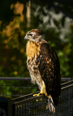 Young hawk, Phoenix, Arizona, May 2012