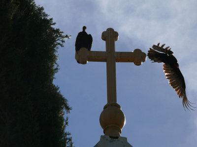 Turkey vultures, Jackson, California, 2008