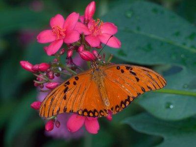 Gulf Fritillary - Passion Butterfly (agraulis vanillae)