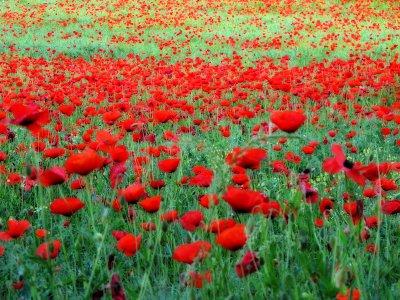 Poppies 16