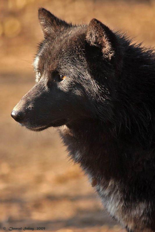 Wolf-2965.jpg