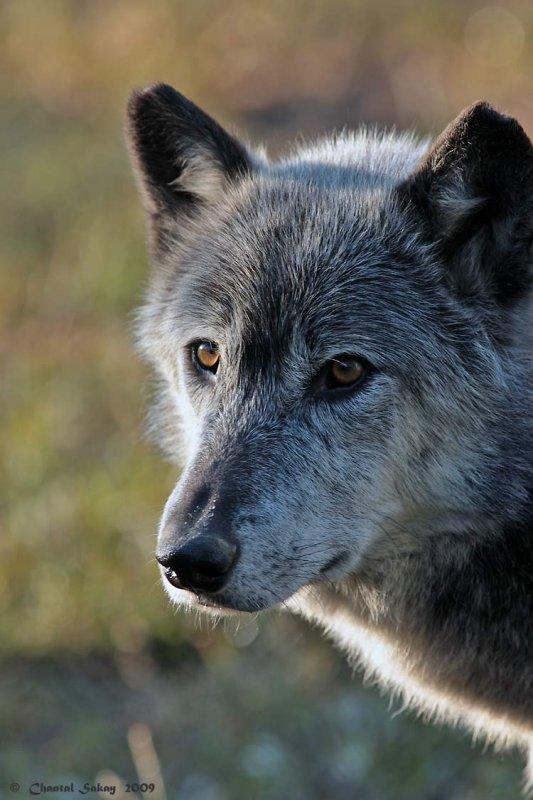 Wolf-2981.jpg