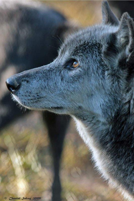 Wolf-2985.jpg